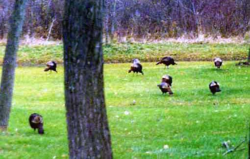 wildturkeys.jpg