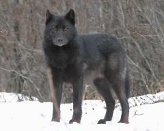 romeowolf.jpg