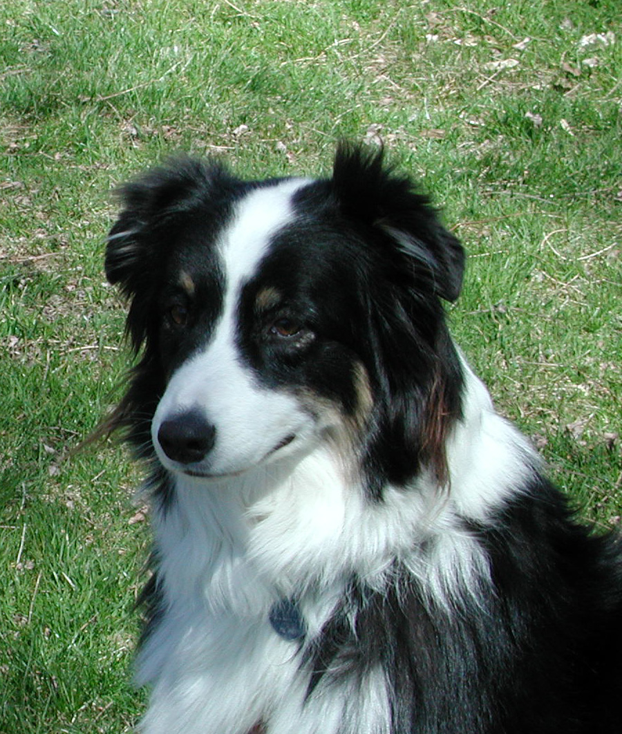 Five Facts You Need To Know Before Choosing An Australian Shepherd Karen Shanley