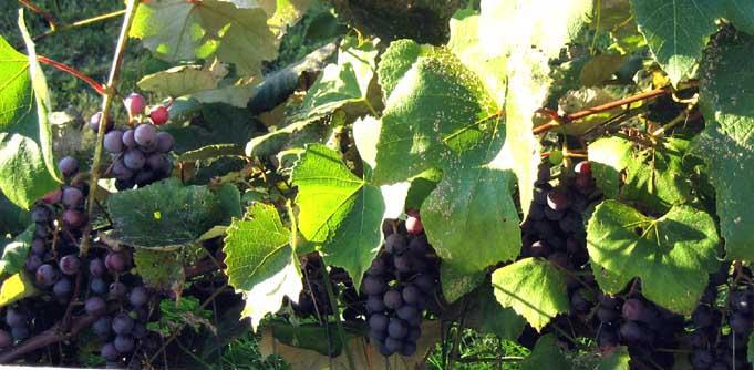 concord-grapes.jpg