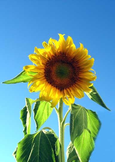 Cait's Sunflower