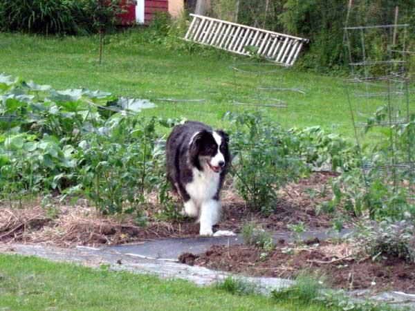 australian-shepherd-garden2.jpg
