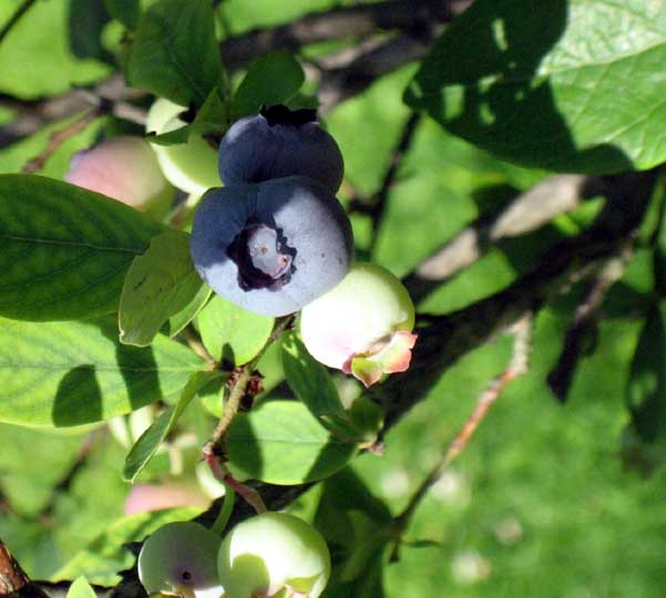 garden-july-blueberry.jpg