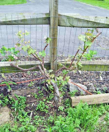 Does Severely Pruning Concord Grapes Kill Them Karen Shanley