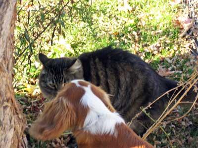 maine coon cat & cavalier spaniel