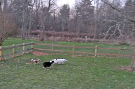 dogs running playing