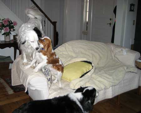 3 dogs on couch
