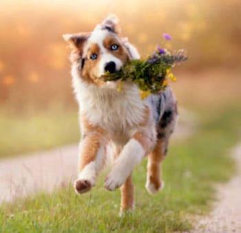 running aussie with grass in mouth