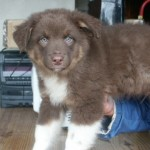 Bringing Home an Australian Shepherd Puppy: What You Need to Know