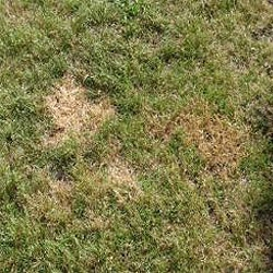 Urine-burned grass