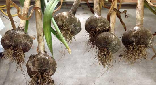 ripe garlic bulbs drying