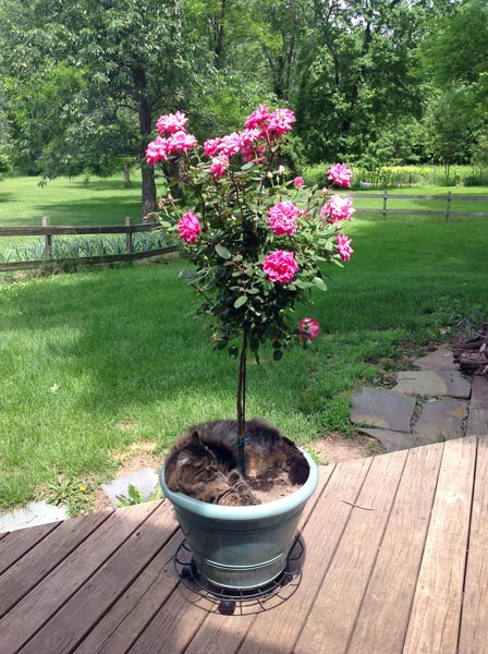Maine Coon in Rose Bush