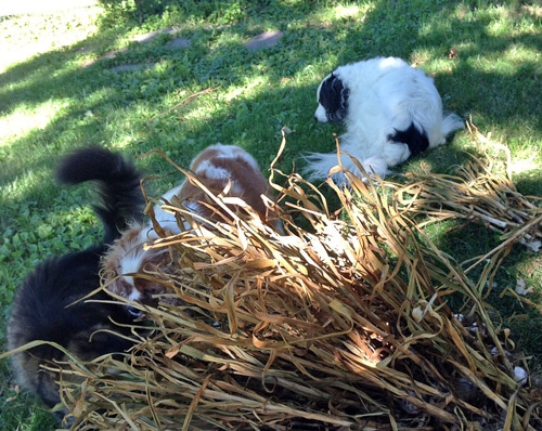 maine coon cat, border collie, cavelier