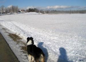 Australian shepherd in snow