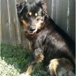 Australian Shepherd Rottweiler Mix -- Good Idea?