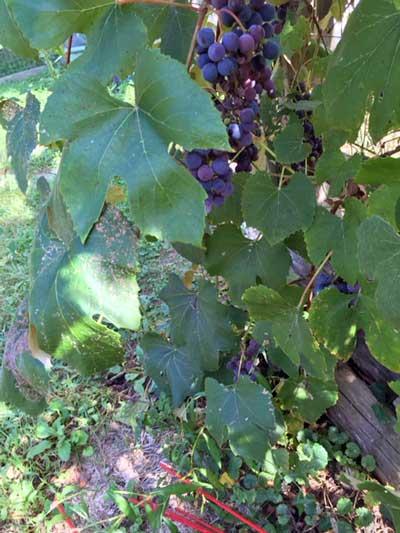 grapes2