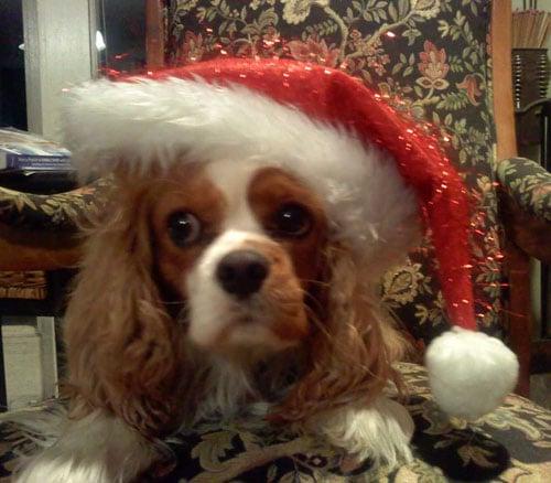 King Charles Cavalier wearing santa hat