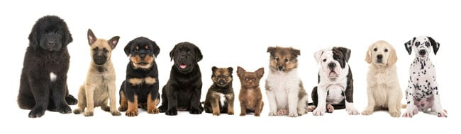 Row of dogs and puppies