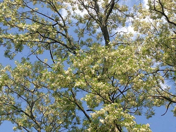 Flowering-black-locust