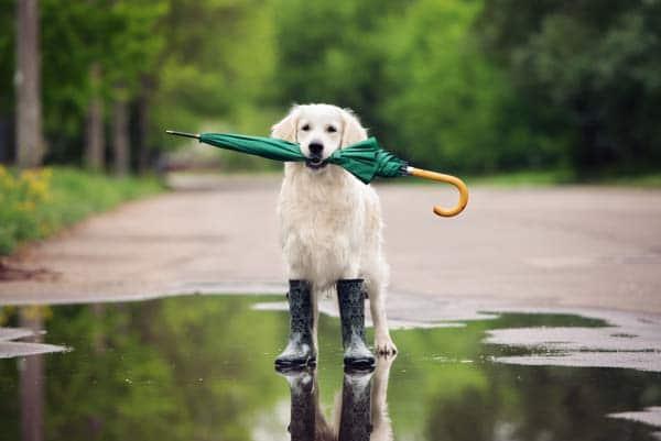 Dog after rain