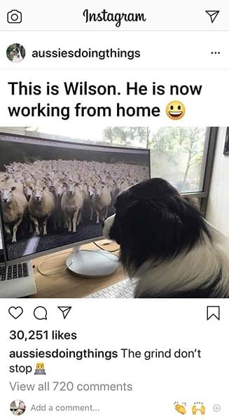 Aussie looking at tv screen full of sheep