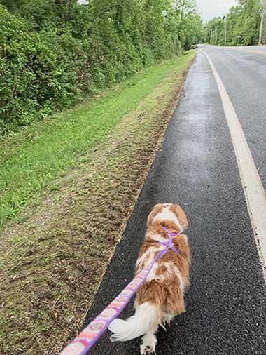 cavalier walking on leash