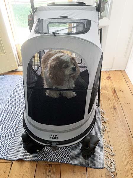 cavalier in dog stroller