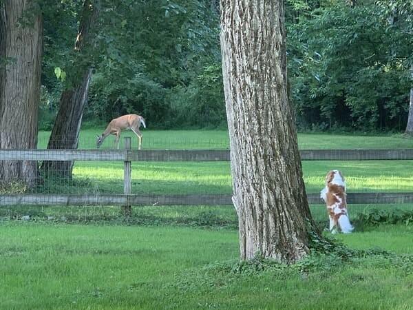 dog looking at deer