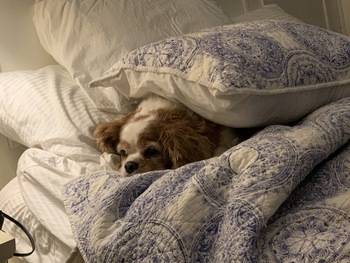 cavalier under bed covers